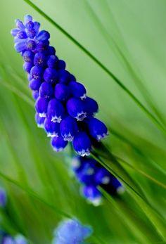 Traubenhyazinthe - grape hyacinth