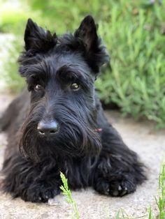 Scottish Terrier Puppy, Cairn Terrier, Bull Terrier Dog, Cute Animals, Animals Dog, Westies, Beautiful Dogs, Mans Best Friend, Scottie Dogs