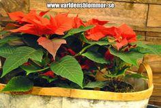 Julstjärna Björk korg Världens Blommor