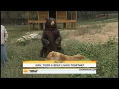 Lions and tigers and bears Oh My...getting along just fine!