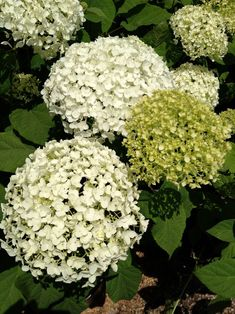 Hydrangeas that mature in color from lime green to white are a definite must in my new garden.