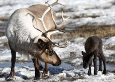 Honey the reindeer keeps a close eye on her newly born calf at the University of Alaska Fairbanks Agricultural and Forestry Experiment Station in Fairbanks, Alaska on April 1, 2010. The 17-pound male, whose name will be determined by submitted suggestions, is the first reindeer birth of the year. (AP Photo/The Fairbanks Daily News-Miner, John Wagner) #