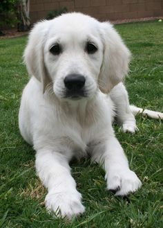 #Englishgoldenretriever #puppy - sweet Marley RIP :*(