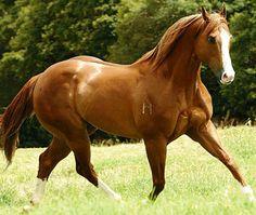 Brazilian quarter horse stallion Corona Cocktail. photo: Robson Tegani.