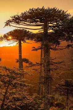 Bosque de Araucanía - La Araucanía, CHILE.