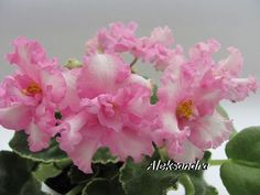 African Violet Saintpaulia Le Vereskovyi Sad ~  Plant New Variety | eBay LE - Vereskovyi Sad  Hybridized by: Elena Lebetskaya Large, wavy white flowers with pink ruffles on the edge of the petals. Variegated, green and white foliage, wavy. Standard