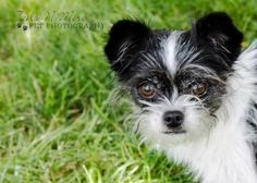 Petango.com – Meet Ashleigh, a 8 years 8 months Chihuahua, Long Coat / Mix available for adoption in MARION, IN