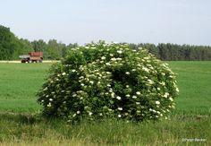 #Holunderblüten im #Spreewald  www.hotel-stern-werben.de