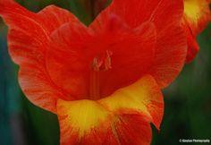 Gladiolus dalenii - Sword Lily - Ajaytao