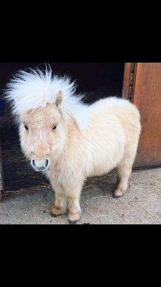 What?! This little miniature horse looks like a fluffy pig, lol!