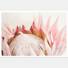 King Protea flower Photography No 119 Fine by NeeksyPhotography # Protea Art, Flor Protea, Protea Flower, Exotic Plants, Exotic Flowers, Desert Flowers, Pink Flowers, Romantic Photography, Flower Photography