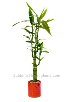 Lucky Bamboo House Plants - Dracaena sanderiana Care Tips, Picture