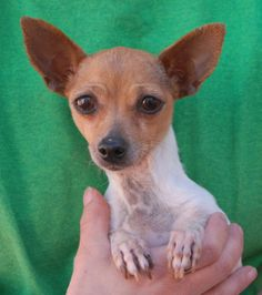 Please help us find a wonderful, peaceful home for little Honeydew.  She is so petite -- just 4 pounds -- that taking extra safety precautions for her in your home and yard is a necessity.  Honeydew is a dainty Chihuahua with a very loving nature, about 6 years of age, a spayed girl, now ready for adoption at Nevada SPCA (www.nevadaspca.org).  Honeydew adores gentle people and friendly dogs.