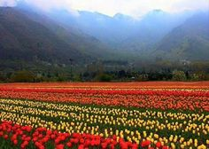 Asia's #largest #Tulip garden in #Srinagar is now open for public! Hurry, plan your trip now Call/ SMS/WhatsApp: +91- 7838603115/ 9910993142 or Email: contactus@triyana.in