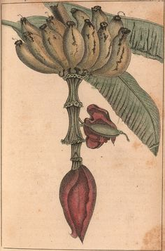 Eclectic historic science and art images from rare books and prints Science Illustration, Fruit Illustration, Nature Illustrations, John James Audubon, Learn To Paint, Types Of Art, Botanical Prints, Natural History, Lovers Art