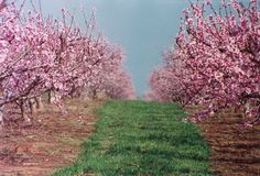 Peach trees in full bloom in Mountain View, Georgia. The setting for Betrayal (Southern Belles)