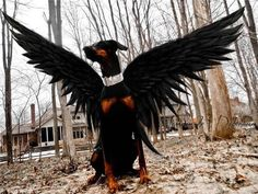 Doberman costume ideas to dress up your dog. From zombie dogs to police dogs. Here's a photo gallery of the best doberman halloween costumes. Pet Halloween Costumes, Pet Costumes, Dog Halloween, Happy Halloween, I Love Dogs, Cute Dogs, Doberman Pinscher Puppy, Doberman Love, Blue Doberman