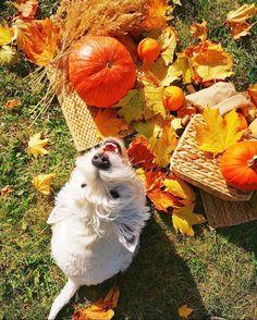 Autumn Animals, West Highland White, Cute Pumpkin, White Terrier, Westies, Terriers, Harry Potter, Instagram Posts, Dogs