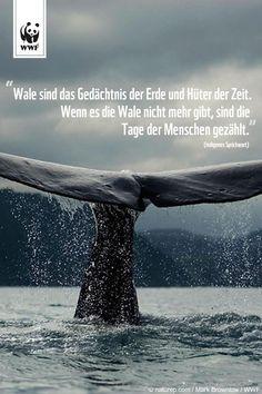 Zitat zum Sonntag.  Bewahrt die Ozeanriesen vor dem Untergang ➤➤➤ www.wwf.de/blauwale-gplus-6