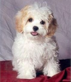 Cavachon Cavachons,Puppies, Hybrids, AKC Cavalier King Charles puppies puppies, Non Shedding Hypoallergenic, Puppies,Cavaliers King Charles ...