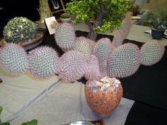 Introduction to Opuntias: THE Signature Cactus Genus Opuntia Cactus, Prickly Pear Cactus, Cacti And Succulents, Planting Succulents, Planting Flowers, Beautiful Flowers Photos, Flower Photos, Unique Plants, Ficus