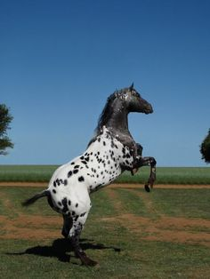 Drea Eagles Dandy. RAT TAIL LOVE IT!! -foundation type Appaloosa. LOVE this colouring!