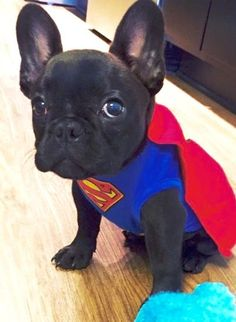 Super Frenchie! French Bulldog Puppy in Superman Costume for Halloween⚡️