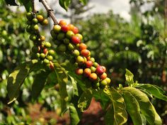 Coffee farm in the Thika district in Kenya.   The coffee beans are turning purple... once they are purple they will be ready to be plucked.  1/1600 ƒ/4 ISO 250 24 mm  Photo by Sarit2006.