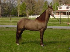 All Tennessee Walking Horse Breed for Color Champagne Lookout at Stud Smooth Naturally Gaited Tennessee Walking Horses