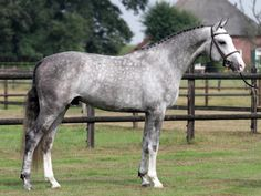 Dapple Grey Hunter - Warmblood Horse - Fabrice - Gelding horse for sale | Benny de Ruiter Stables