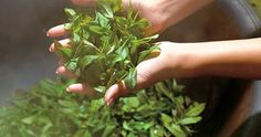 """Contrary to popular belief, """"Orange Pekoe"""" is not orange flavored tea. In fact, it does not refer to a particular flavor, color or even a quality. The term Orange Pekoe is nothing more than a designation of leaf size. Herbal Tea Benefits, Herbal Teas, Simple Minds, Alternative Treatments, New Leaf, Health Remedies, Natural Health, Health And Beauty, Natural Remedies"""