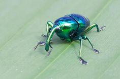 Metallic Weevil, Eurhinus magnificus,