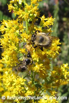 Bumble Bee on Showy Goldenrod ~ Solidago speciosa