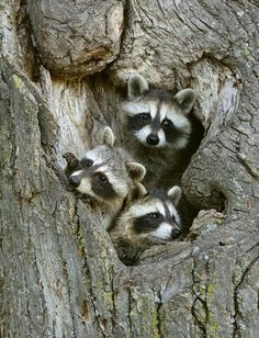 We've gathered our favorite ideas for Raccoons Peeking Out Fine Art Racoon And Photographs, Explore our list of popular images of Raccoons Peeking Out Fine Art Racoon And Photographs. Animals And Pets, Baby Animals, Funny Animals, Cute Animals, Texas Animals, Strange Animals, Cute Raccoon, Racoon, Raccoon Family