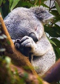 I have a dream, to be a koala someday and then sleep sleep, continue dreaming~~