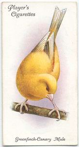 Greenfinch-Canary Mule bird (c. 1903-1917)