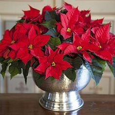 Det blir ikke ordentlig jul uten en vakker julestjerne. No Christmas without a beautiful Poinsettia.