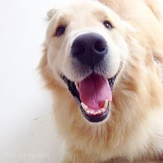 Greg ♥ Love that famous Golden Retriever smile
