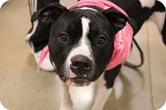 Livonia, MI - American Staffordshire Terrier. Meet Moolah, a puppy for adoption. http://www.adoptapet.com/pet/7144079-livonia-michigan-american-staffordshire-terrier