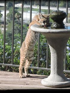 Photo: The Heat Draws A Bobcat Out For A Drink.  Stay hydrated!