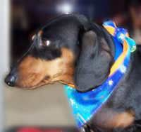 Our reversible bandanas tie into a cute bow. This standard size Dachshund is wearing a medium regular astrological bandana.