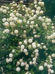 Common Snowball, European Snowball, European Cranberrybush, Guelder Rose | Kalina obyčajná Roseum | Viburnum opulus Roseum
