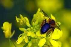 Esta espalda de abeja puede parecer el rostro de una bestia extraña. Sus alas delicadas orejas. Liba en un jaramago orlada de pelo rubio.