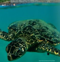 Baby sea turtle in Hawaii #travel