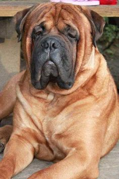 Massive and wonderful!!Google Image Result for http://www.freeimagesarchive.com/data/media/201/bullmastiff%2Blying.jpg