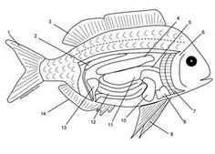 Graphic of a fish with internal organs for students to color to learn the structures, such as stomach, kidney, liver, and pectoral fins. Biology Lessons, Science Biology, Teaching Science, Life Science, Ap Biology, Fish Anatomy, Heart Anatomy, Anatomy Drawing, Slippery Fish
