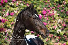 Black Marwari Overo Horse Pink Flowers India