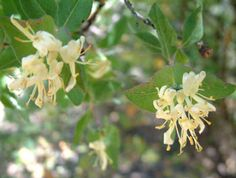 """Most popular in Traditional Chinese Medicine, Honeysuckle also has a strong history of use among Native Amercians, Europeans and other peoples."""