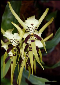 Orchid. Asparagales, Orchidaceae.