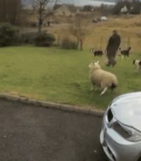 Hooray I am a dog. Lol! I've never seen a lamb act this way before. Funny gif